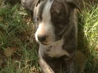Puskies for sale 3/4 staffordshire terrier and 1/4