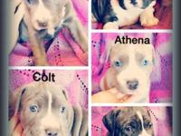 Gorgeous American Pit Bull Terrier Puppies! 2 Males 2