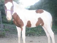 3 month old APHA sorrel and white tobiano colt, this