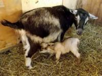 One year old Pygmy doe with a buckling born 5/15/13 at