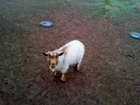 PYGMY BUCK: Junior is the son of Gorgie who sired this