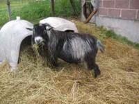 Two adult male pygmy goats--one is half fainter Gentle