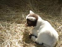 For Sale Pygmy Goat Kids.  We will start having kids