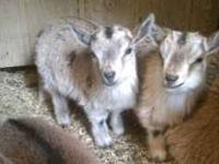 I have a few pygmy kids (baby goats) for sale still.