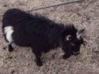 PROVEN BILLY GOAT (SMALL BUT ACTIVE). BLACK WITH WHITE