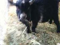 2 dwarf Pygmy goats. Black male one year old n white