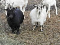 I have both male and female Pygmy goats available, also