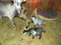 Three Pygmy goats for sale, 2 males, 1 female born on