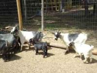 Several Pygmy goats for sale. I have four kids for