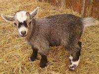 Pygmy goats for sale. I have one baby black & white