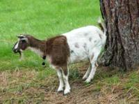 Two pygmy goats for sale - 1 year old male (whether)