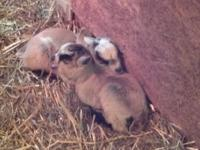 For sale Pygmy/Lamancha doelings $150.00 each get yours