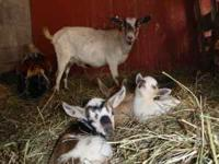 I have a male Pygmy goat for sale. He is not fixed.