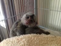 Our Pygmy Marmoset Monkeys will make a perfect addition