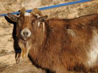 Pygmy - Radar - Small - Adult - Male - Barnyard Radar