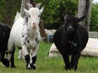 Male, Nigerian Dwarf Pygmy Goat FOR TRADE FOR A FEMALE