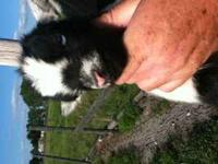 Pygmy X Nigerian Dwarf goat cross buck. Black and white