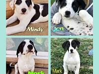 Pyr/Heeler Puppies's story The Pyrenees/Heeler mix are
