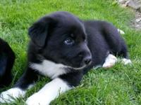Pyrador Puppies for sale. They are a designer (hybrid)