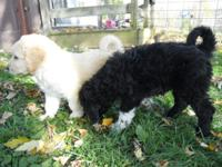 We have 5 lovely Pyredoodle Puppies offered. 4 males,
