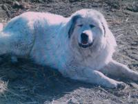 they are 7/ 8 Great Pyrenees and 1/8 pointer they were