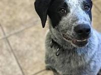Python 113064's story Python is a 5mo old blue heeler