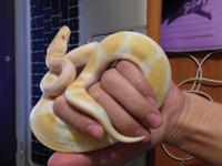 It have a 9 months old Het.  piebald and  albino and