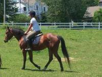 Outstanding QH Cross mare, 3 years old, 15 hands,