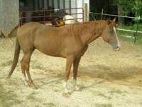 Charlie is a four year old QH Gelding, Rescue. Unbroke