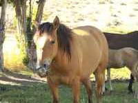 For Sale 2yo, Dun filly, sire is Foundation QH, dam is