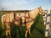 2006 palomino mare for sale rides, packs, good with