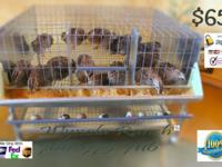 *** Basic Quail Laying Cages $65 . Capacity 20+ adult