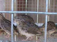 I have some cortunix quail still available they are