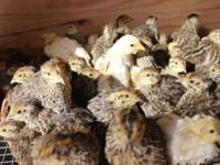 Jumbo brown coturnix quail chicks $0.50 cents/each, of