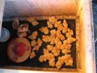 Texas A&M Chicks, new hatch 1.00 each--call or