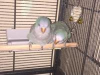 Tow Quaker male and female one year age blue color with