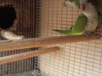 We have a pair of Quaker birds ready for breeding only