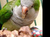 Quaker Parakeet - Gus - Small - Adult - Bird Sex: M