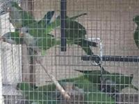 Quaker parrot available , no tame . Perfect condition.