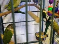 Baby Quakers parrots in Green, Blue and Pilad Tame and