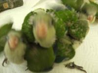 Green Quake parrot babies. Rerserve your child parrot