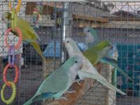 I Have 3 pairs M/F of Quaker Parrots DNA'd Colors: