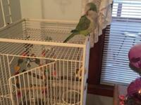 Young Quaker just over a year old parrot with cage and