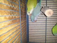 I have 3 Quakers parrot. One normal green for150 ...