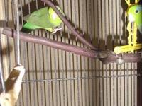 I have a proven pair of Green Quaker Parrots they are