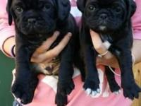 4 beautiful KC registered pug puppies ready to find
