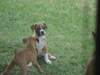 We have AKC Boxer Puppies starting at $625.00!!! I have