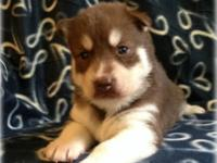 $1500 FULL AKC Breeding Rights ~ ~ Dam is a copper and