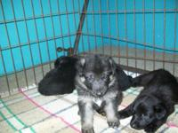 Beautiful litter whelped 12/11/14 that will prepare