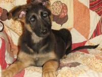 We have a really great quality 14 week old female AKC